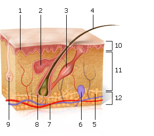 Detailed structure of the skin